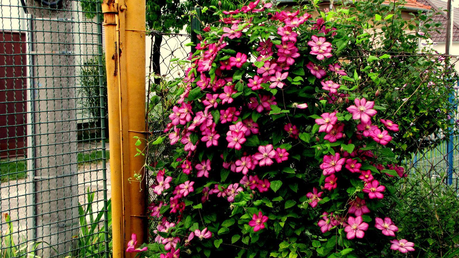Rekonštrukcia starého domčeka - Tá kvetina je nezmar.V polovici mája som ju od samého koreňa vyťal.Dnes je vyššia ako ja a má spústu krásnych kvetov.