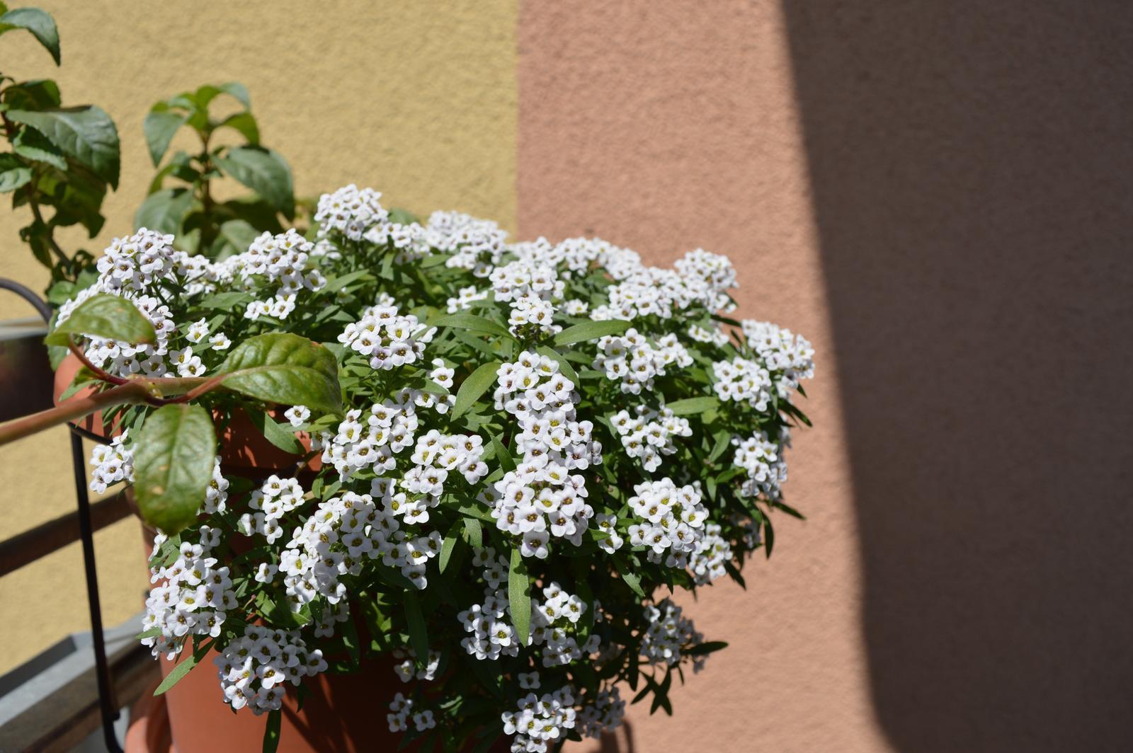 Moje květena.. - Obrázek č. 32