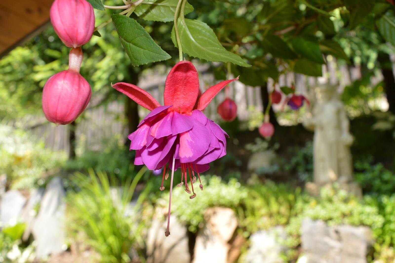 Moje květena.. - Fuchsie