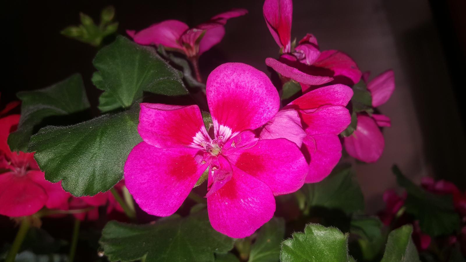 Moje květena.. - Muškát