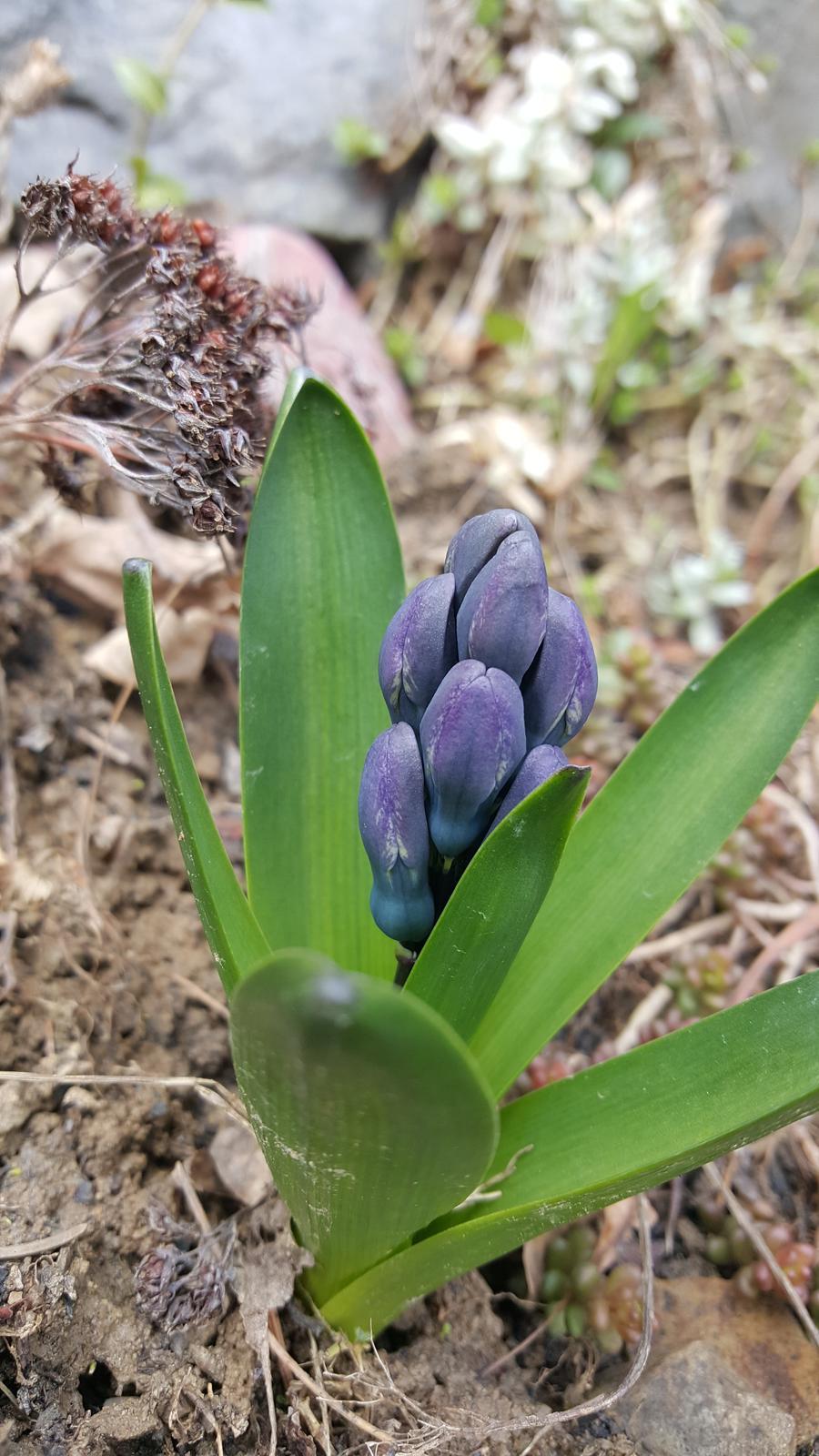 Moje květena.. - Hyacint už ve skalce vykukuje