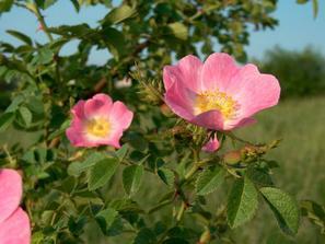 moje nejoblíbenější květina, ale do svatební kytice se nehodí - ptala jsem se v květinářství, a v kytici by nevydržela ani půl dne...