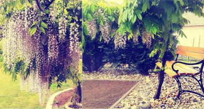 minulorocna wisteria v predzahradke :)