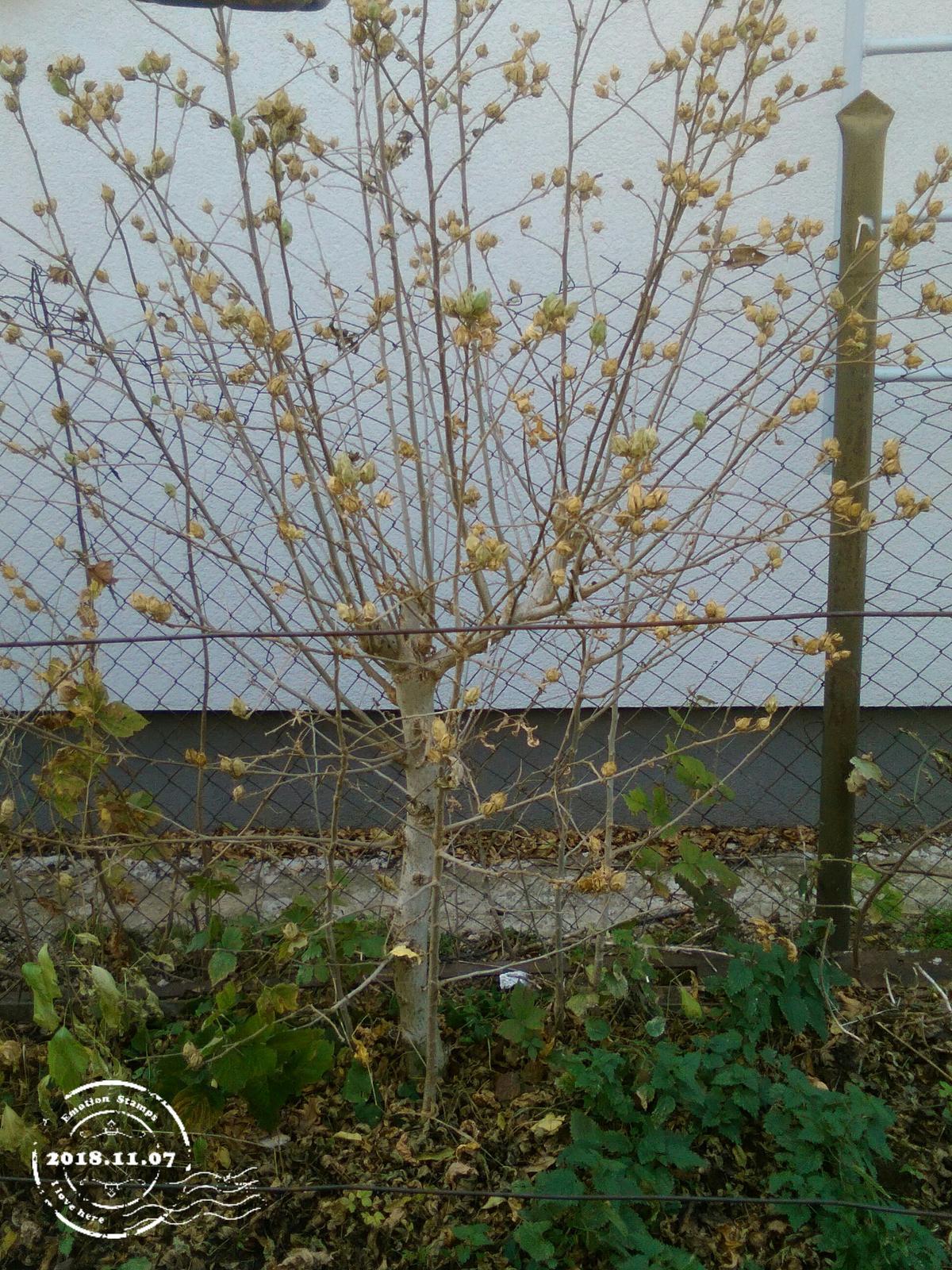 lacno predám ibišteky sýrske rôznych veľkostî - Obrázok č. 1