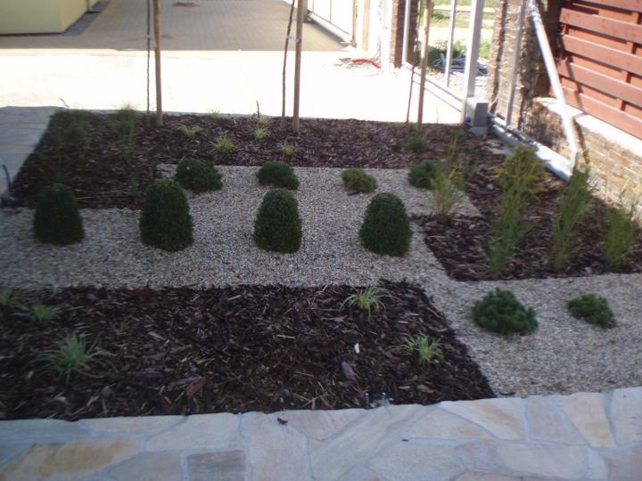 Zahrada - Buxusy se pomalu zakulacuji, vse se bude strihat do kulata
