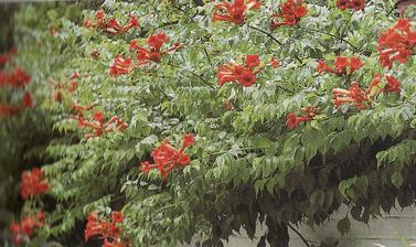 trubkovec, naši ho majú v záhrade, je nádherný, celé leto kvitne a je nenáročný, úplne perfektný na pergolu