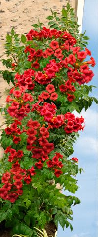 Plány pre našu budúcu záhradu - už spomínaný trubkovec - je naozaj plný kvetín - prekrásny