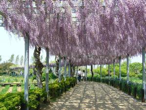 najkrajšie popínavá rastlina zo všetkých - visteria, kvitne iba 3 týždne ale stojí to zato, na pergole nesmie chýbať