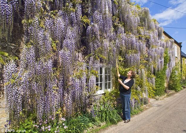 Plány pre našu budúcu záhradu - je nádherná, naši mali na pergole fialovú visteriu a po 8 rokoch z ničoho nič uschla-že porážka... je to strašná škoda, človek čaká roky kým celá obrastie