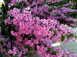 detail na buganvilia - ona má vlastne kvety tie malé biele, to fialové sú listy