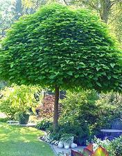ešte som objavila názov tohoto krásneho stromčeka - catalpa