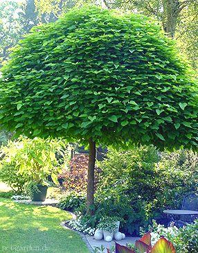 Plány pre našu budúcu záhradu - ešte som objavila názov tohoto krásneho stromčeka - catalpa