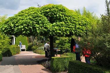 Plány pre našu budúcu záhradu - táto je už krásne rozrastená, perfektný tien robí