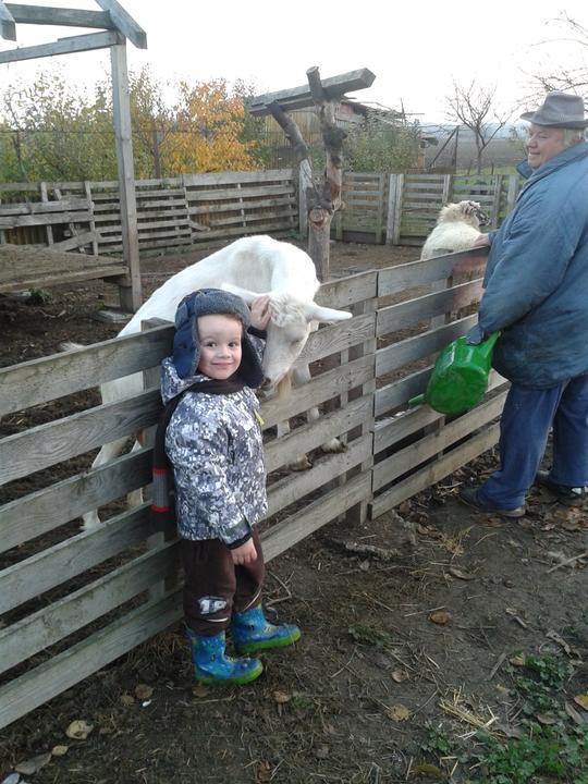 Náš starý domček - koza Líza a ovečky, dáva perfektné mliečko - je výborné a hlavne zdravé