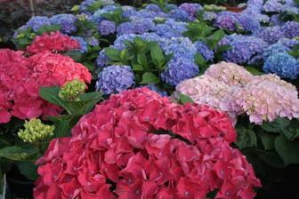 milované hortenzie - tuším najkrajší kvet zo všetkých... ale mne min. rok nevydržala - dievčatá, ako sa o ne správne starať? chcem ich pestovať...