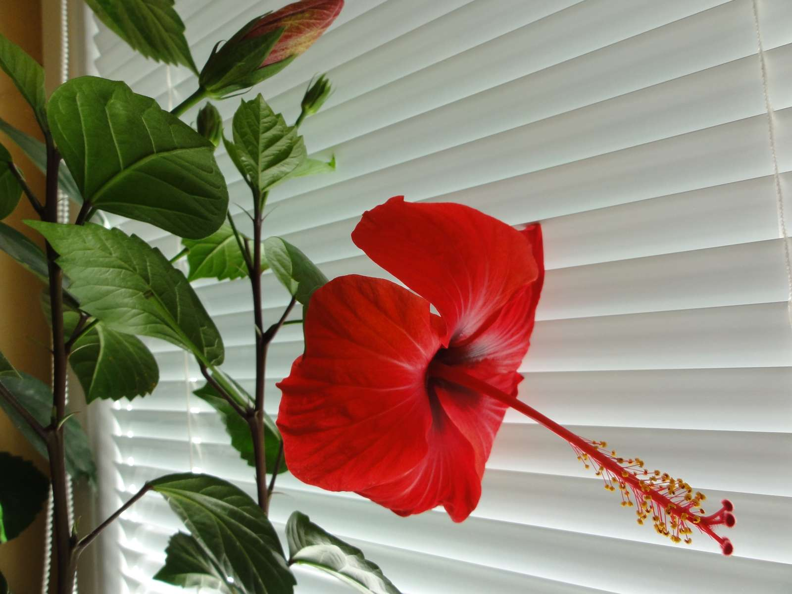 Čínska ruža  /ibištek čínsky/ - Obrázok č. 2