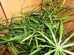 Šachor striedavolistý (Cyperus),