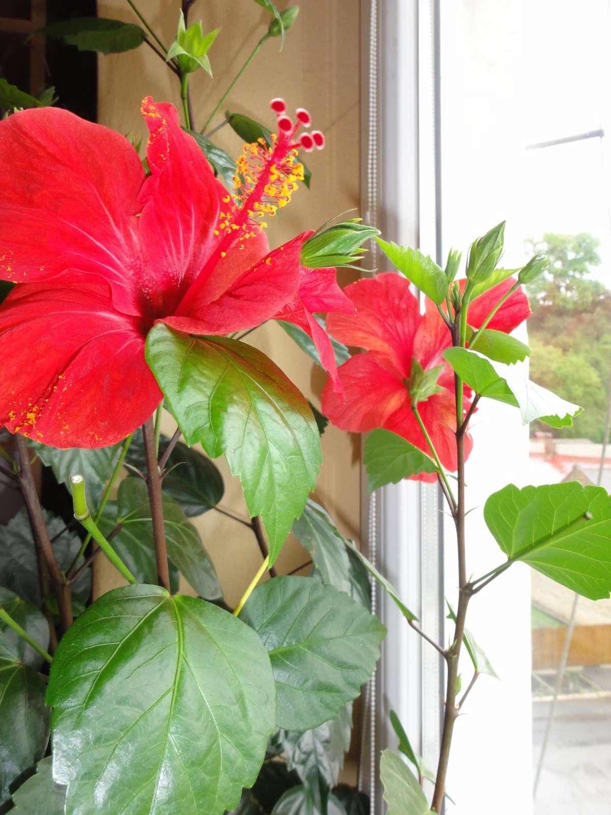 Čínska ruža krik /ibištek čínsky/ - Obrázok č. 2