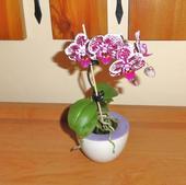 Orchidea tigrovana,