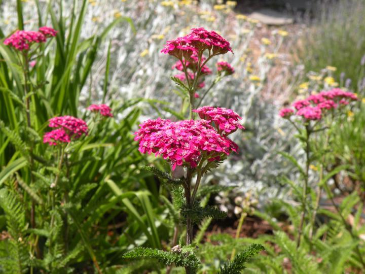Výběr do zahrady - řebříček Cerise Queen