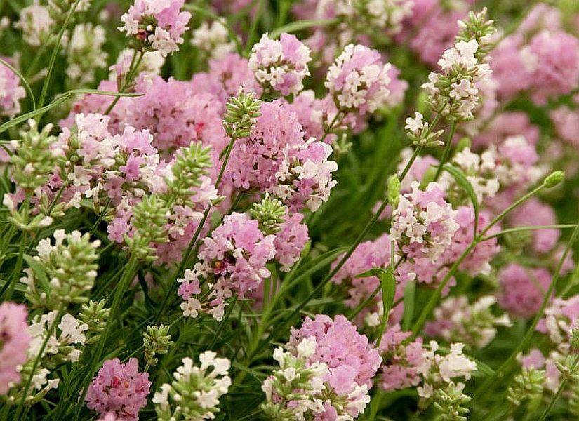 Výběr do zahrady - Levandule Ellagance Pink