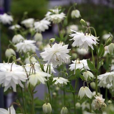 Výběr do zahrady - orlíček plnokvětý White barlow