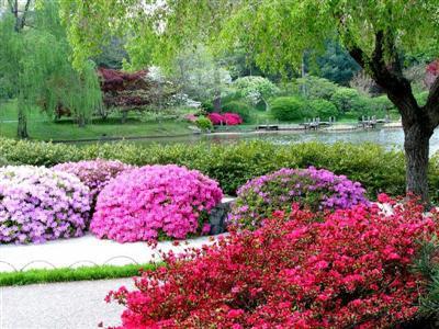 Zahrada - rododendron koule
