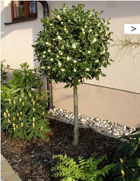 Zahrada - cesmína ostrolistá strom