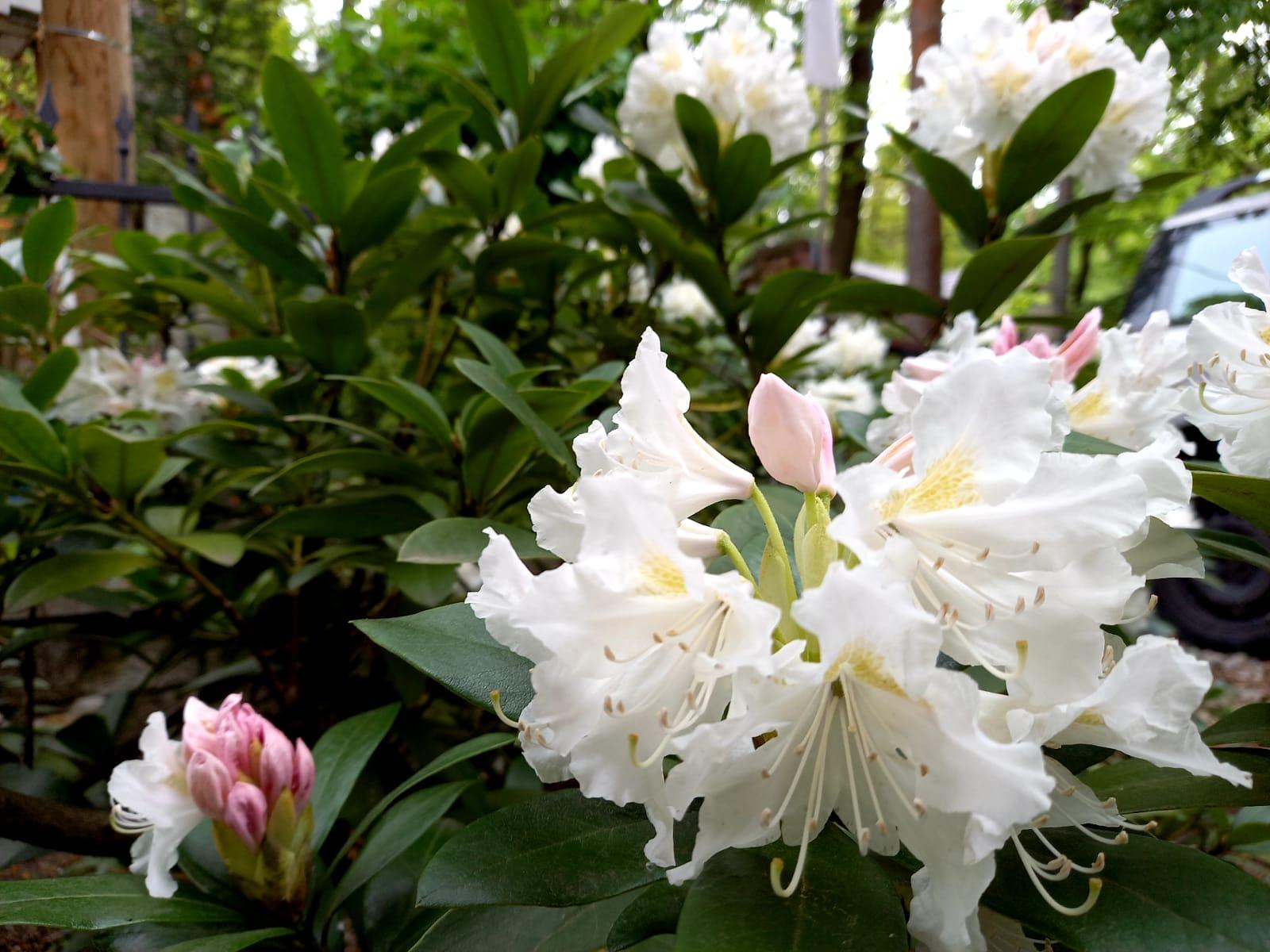 Môj malý kúsok raja😊 - Naše zdedené už asi aj 20 ročné rododendrony nám robia každý rok veľkú radosť😍