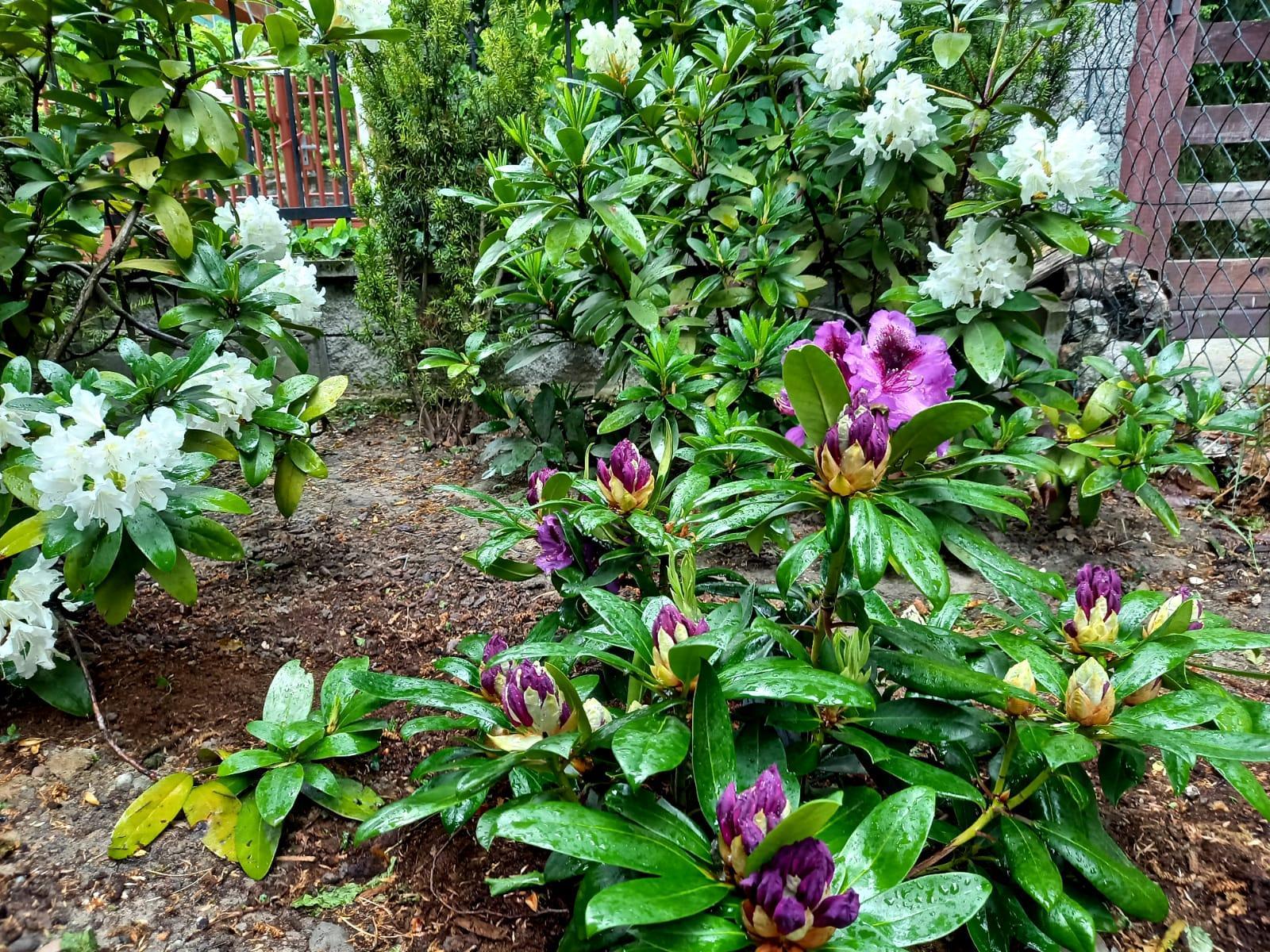 Môj malý kúsok raja😊 - Ku skupinke bielych rododendronov som tento rok pridala nový a krásne prekvapil fialovou farbou😍