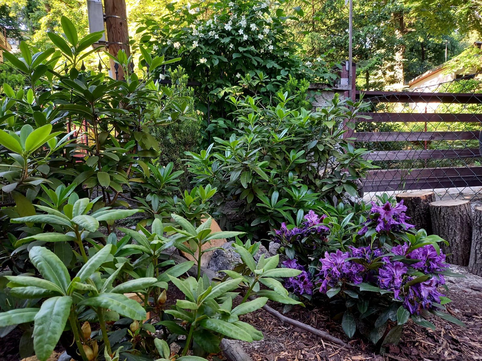 Môj malý kúsok raja😊 - Ešte dokvitá posledný rododendron a voňavý biely jazmín a už sa lesná predzáhradka zaodeje do zelenej...