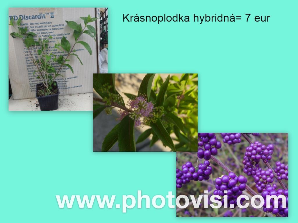 Krásnoplodka hybridná - Obrázok č. 1