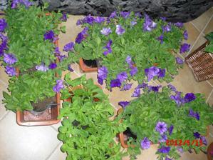moje zahradnictví v obýváku:-) čekáme až přejdou mrazíky:-(
