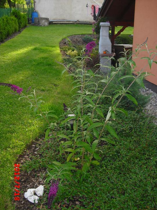 Zahrada a okolí - komule davidova,začíná kvést:-)