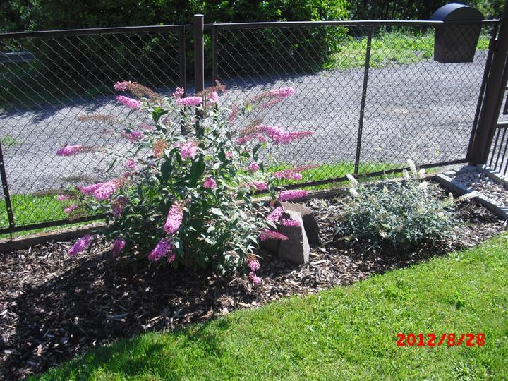 Zahrada a okolí - komule davidovy-růžová a bílá:-)
