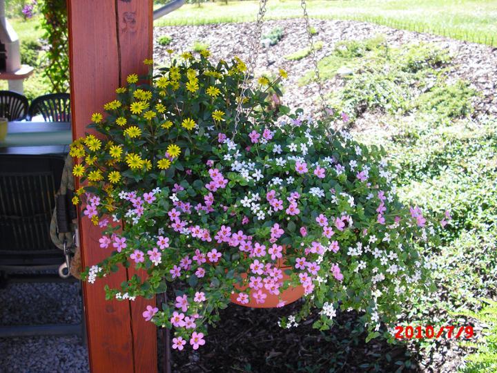 Zahrada a okolí - bacopa a sanvitálie