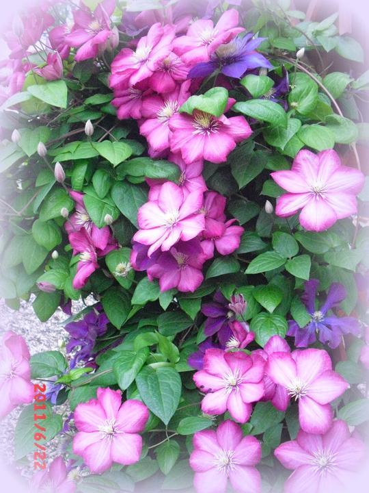 Zahrada a okolí - něco z mojí zahrádky-clematis :-)