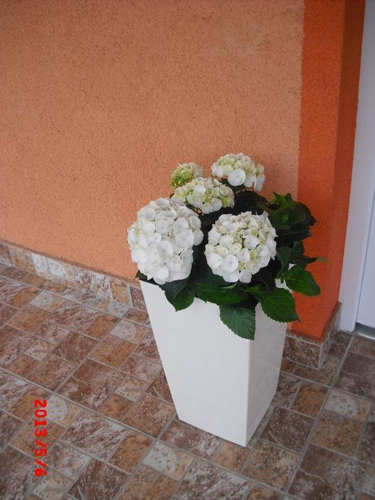 Zahrada a okolí - hortenzie:-)
