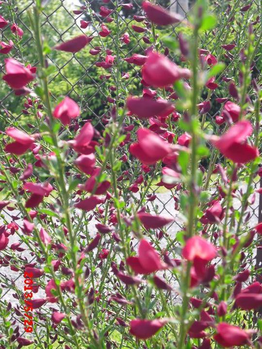 Zahrada a okolí - tak aspon čilimník začíná kvést....