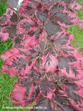 Fagus sylvatica Tricolor-buk obecný