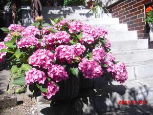 nádherná hortenzie mé sousedky :-)