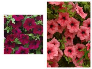letos tato barevná kombinace......dlouho jsem je chtěla...surfinie burgundy a hot red......