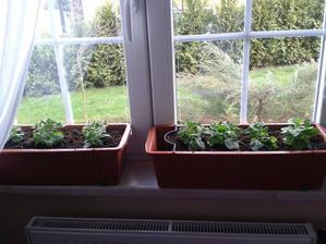 zalévat zatím jen vrchem...hnojit až za 3-4 týdny ;-)