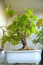 Balkón s bonsajmi