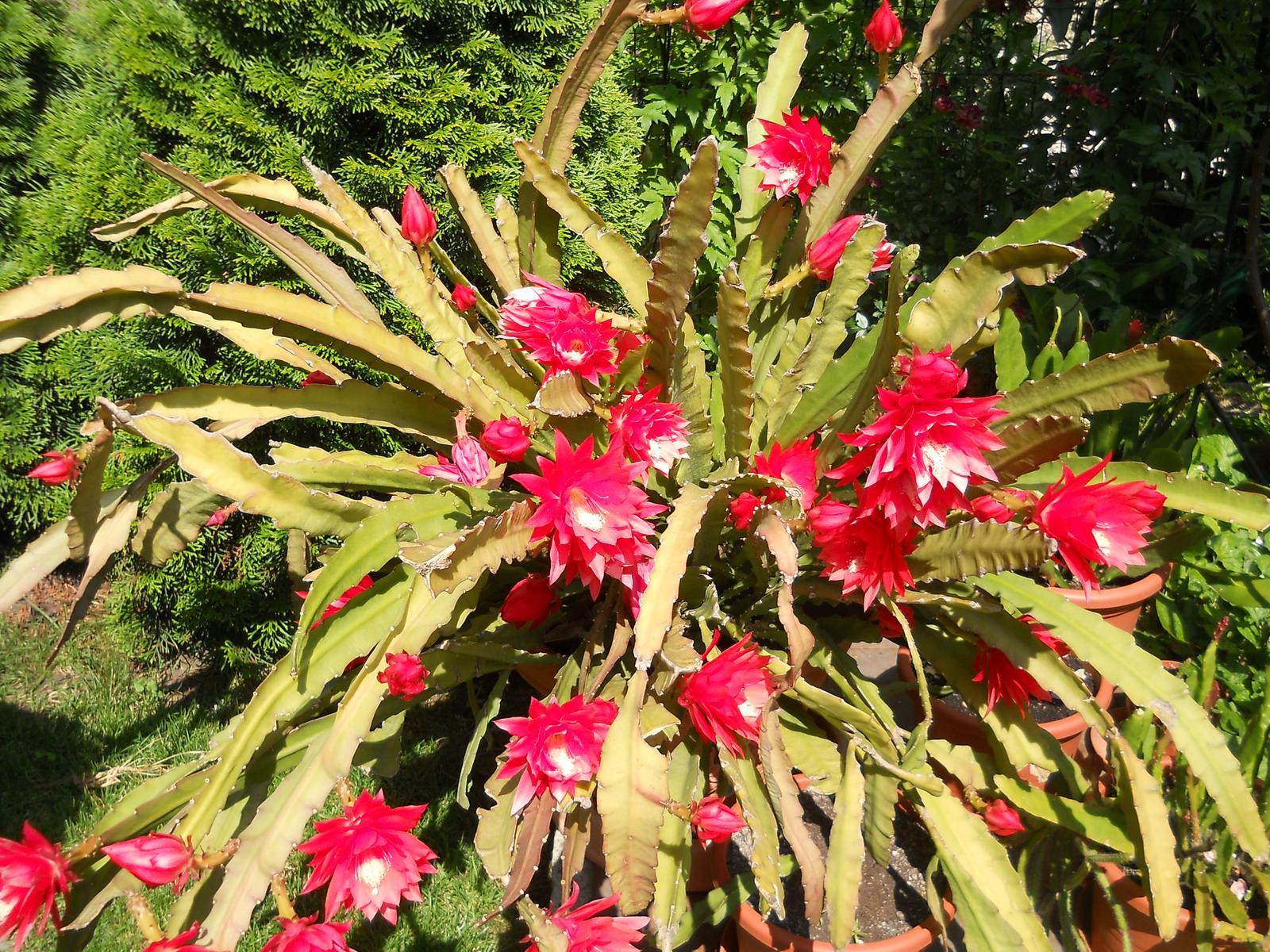 Kaktus epiphylum červený - Obrázok č. 1