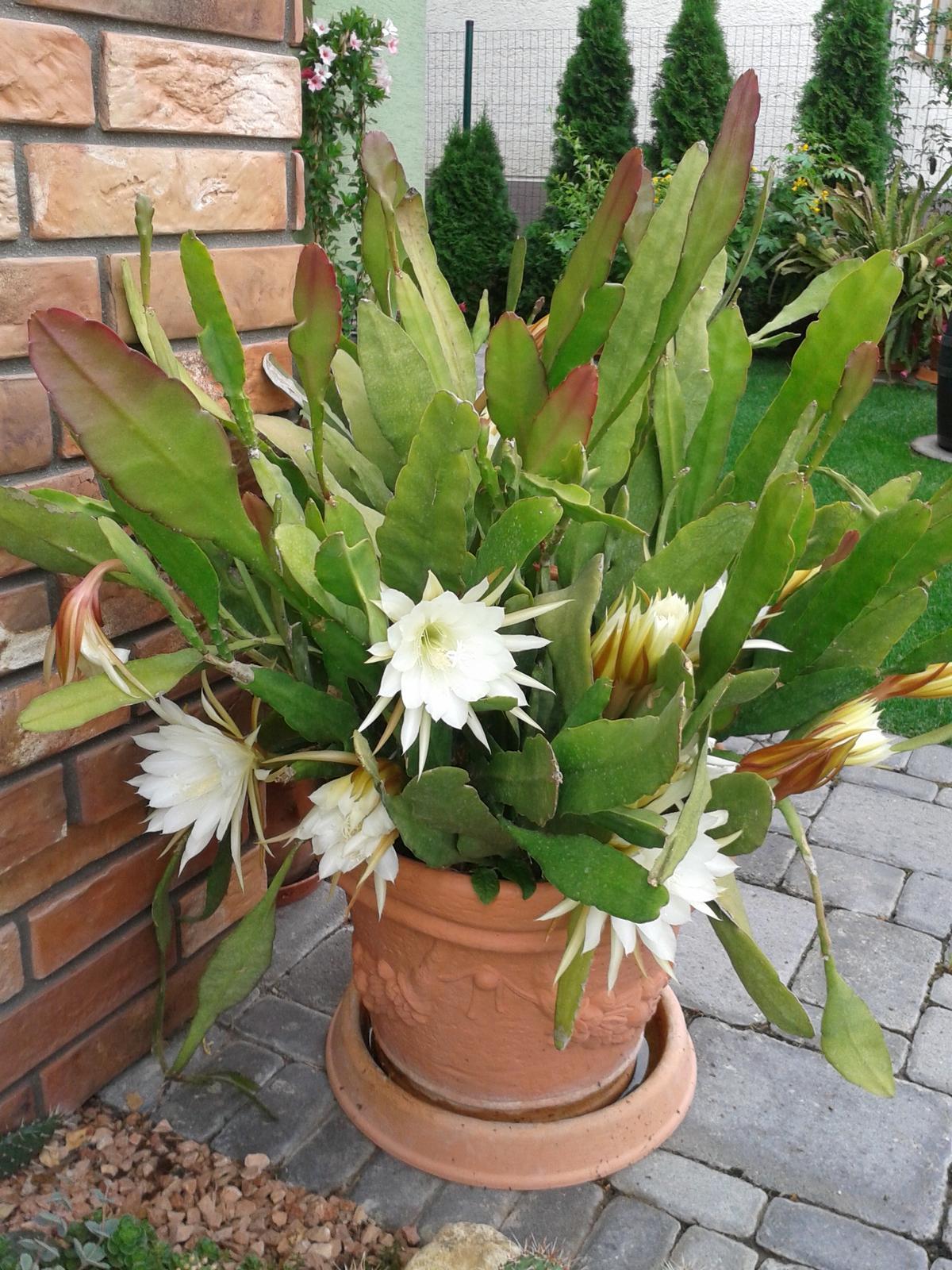 Kaktus epiphylum biely - Obrázok č. 1