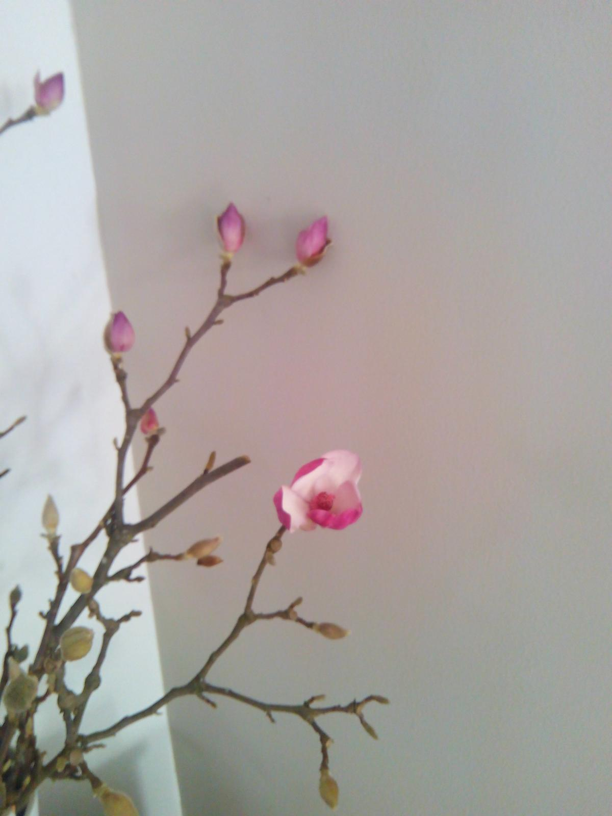Takto nám rozkvitla magnólia, sneh ju polámal ja som ju dala do vody... - Obrázok č. 3