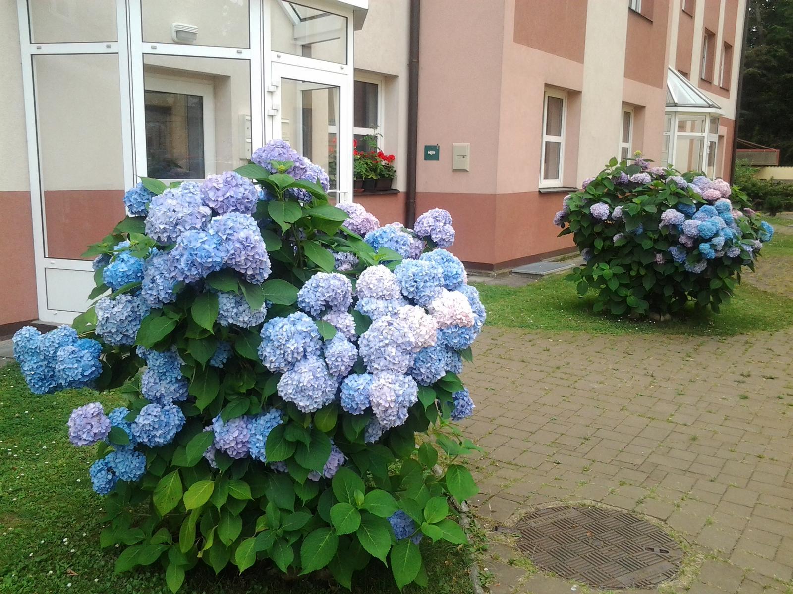 Jihočeská venkovská zahrada. - Takto byly hortenzie krásně modré první rok po vysazení.