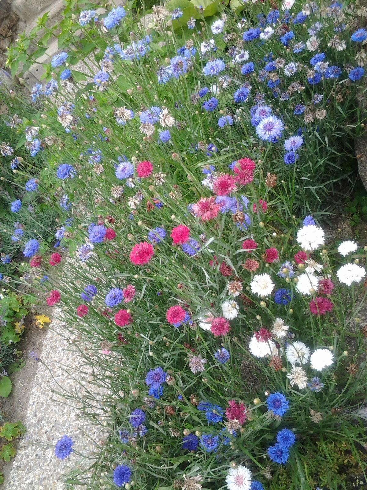 Jihočeská venkovská zahrada. - Chrpy