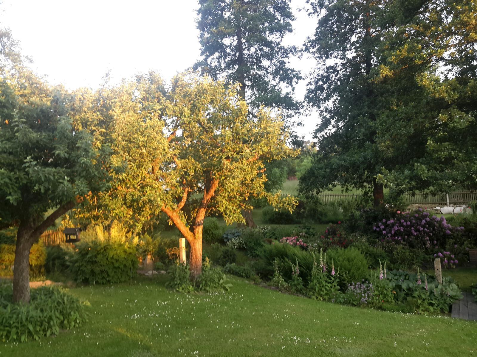 Jihočeská venkovská zahrada. - Takto nám pozlatí zapadající slunce obyčejnou jabloň.